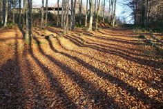 Autumn Beech shadows 300.jpg